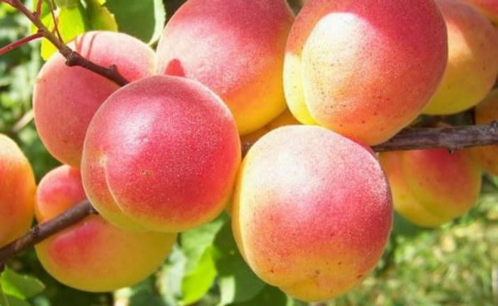 Как вырастить абрикос в собственном саду: преимущества ягод